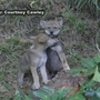 Government: Wild red wolf population could soon be wiped out