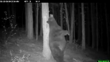 Watch: Big bear pulls a Baloo in front of trail camera