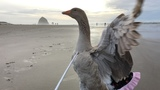 Pet goose flies free from farm life, tours Oregon in tutus and pearls