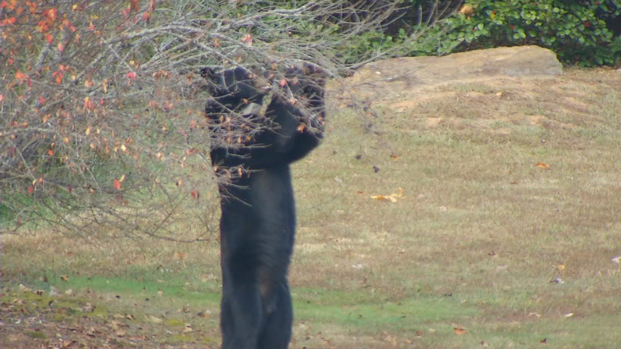 A black bear outside of WLOS on Nov. 3, 2016.  (Photo credit: WLOS Staff)