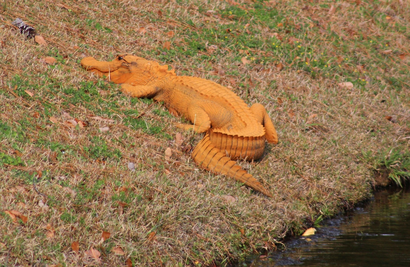 In a photo provided by Stephen Tatum, an orange alligator is seen near a pond in Hanahan, S.C. Photos show the 4- to 5-foot-long alligator on the banks of a retention pond at the Tanner Plantation neighborhood. Jay Butfiloski with the South Carolina Department of Natural Resources says the color may come from where the animal spent the winter, perhaps in a rusty steel culvert pipe. Experts say the alligator will shed its skin and probably return to a normal shade soon.  (Stephen Tatum via AP)