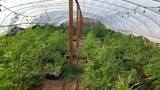 Deputies seize nearly 3,500 marijuana plants in Merced County