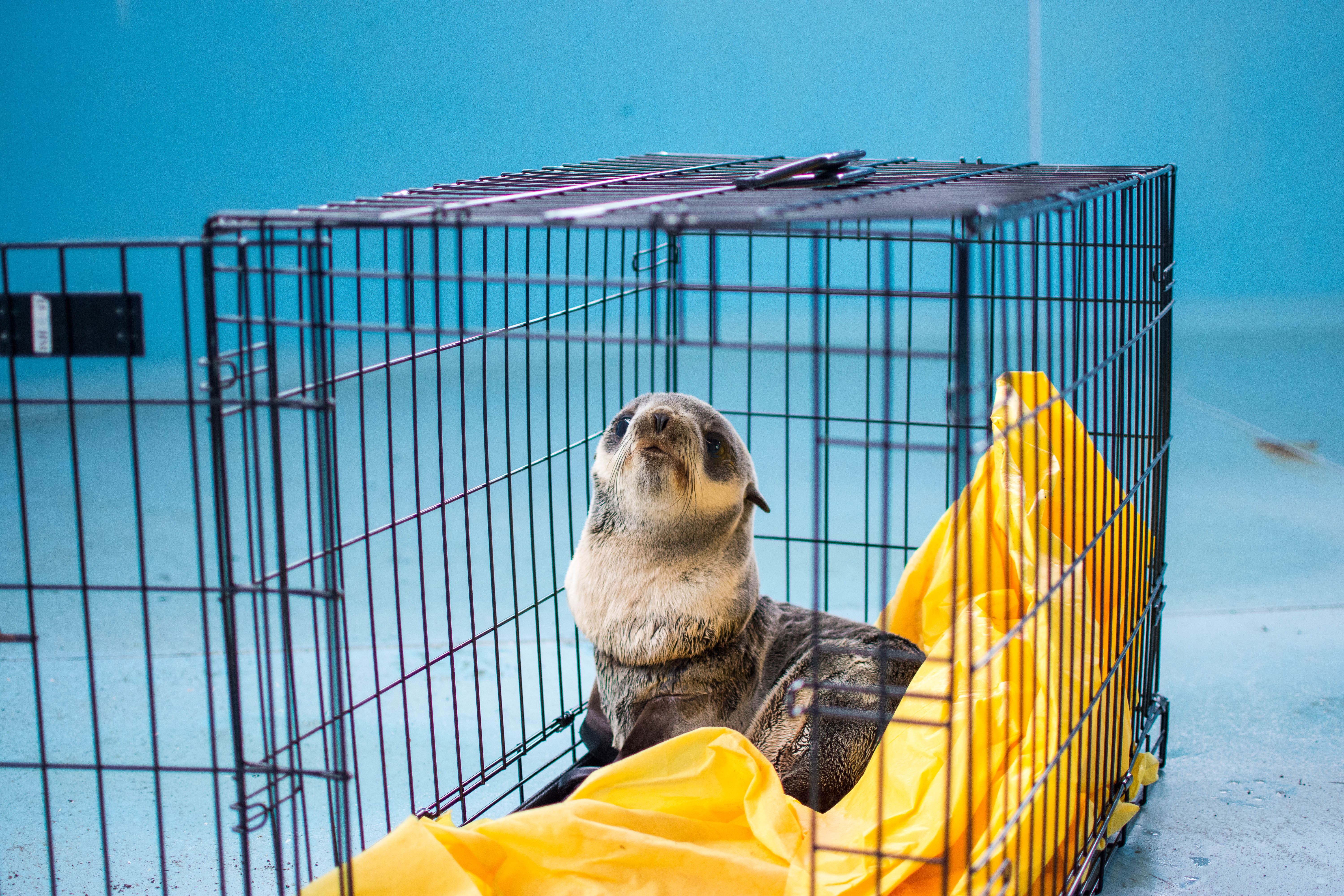 A fur seal pup found with a plastic string around the neck in an RV parking lot in Winchester Bay on Monday will be released back into the wild Wednesday, the Oregon Coast Aquarium said. Aquarium staff said the male northern fur seal pup likely crossed the road to the RV lot from the water. The string had cut through the seal's thick fur and skin, leaving an open wound around its neck. The string likely came from a balloon or packaging material, Aquarium staff said. (Oregon Coast Aquarium)