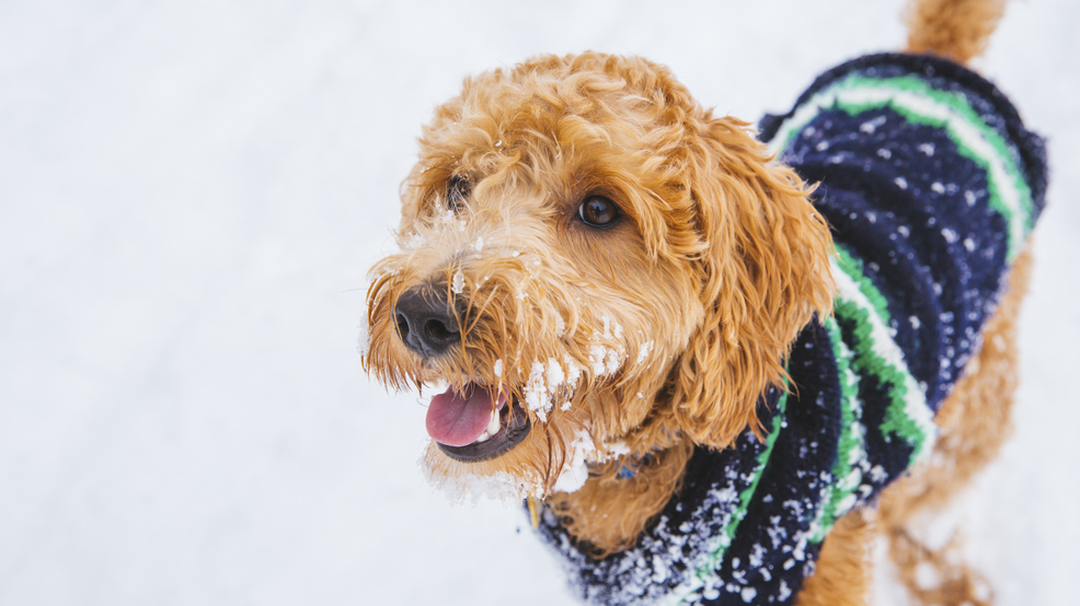 RUFFined Spotlight: Frederick the Labradoodle