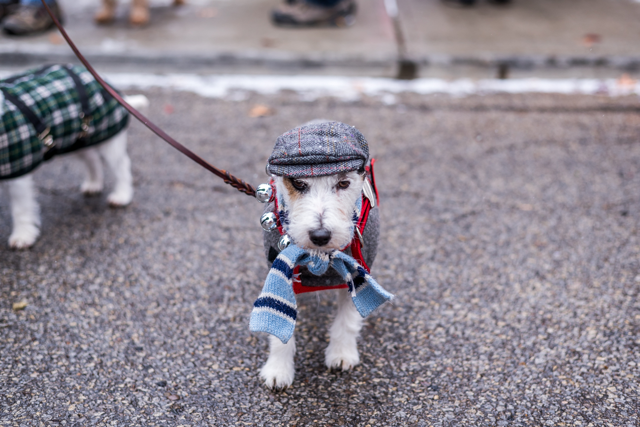 "Pictured: The most adorable doggy from the gallery ""Photos: Cuteness Overload At The 2017 Mt. Adams Reindog Parade"" / Image: Mike Menke // Published: 12.31.17"