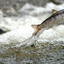 Judge: Plan for restoring Northwest salmon runs not enough