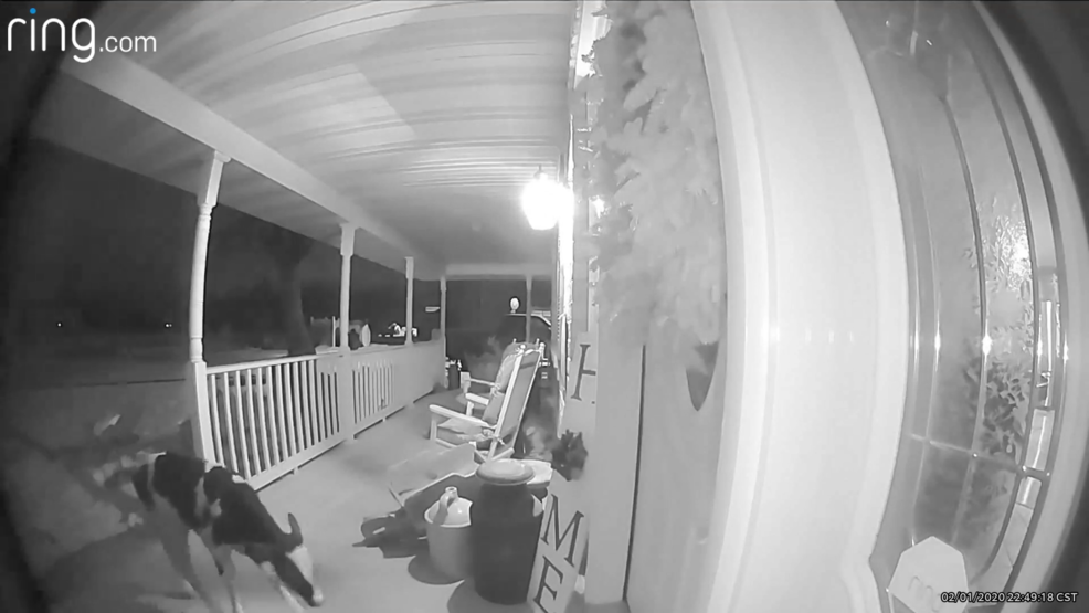 A calf wanders onto a porch in this still frame taken from doorbell camera video time-stamped Feb. 1, 2020.