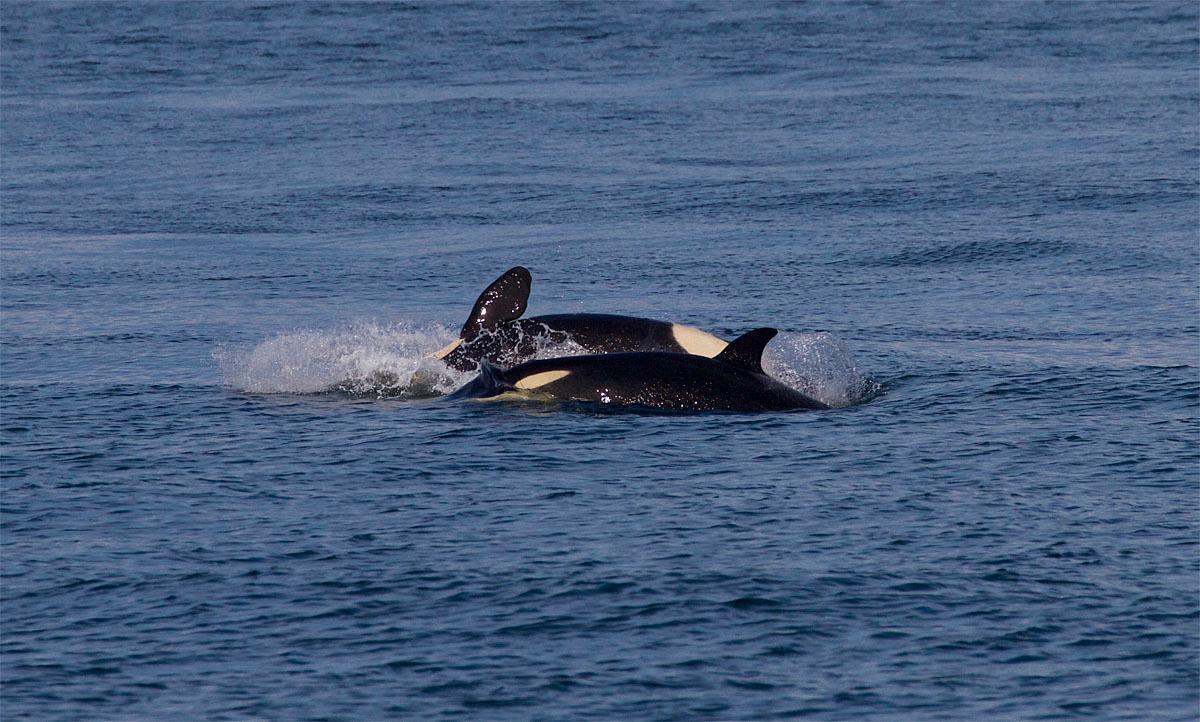 photos u0027the kids are alright u0027 8 killer whale calves doing well