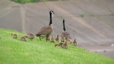 Mama goose finds police, officers free gosling tangled in string