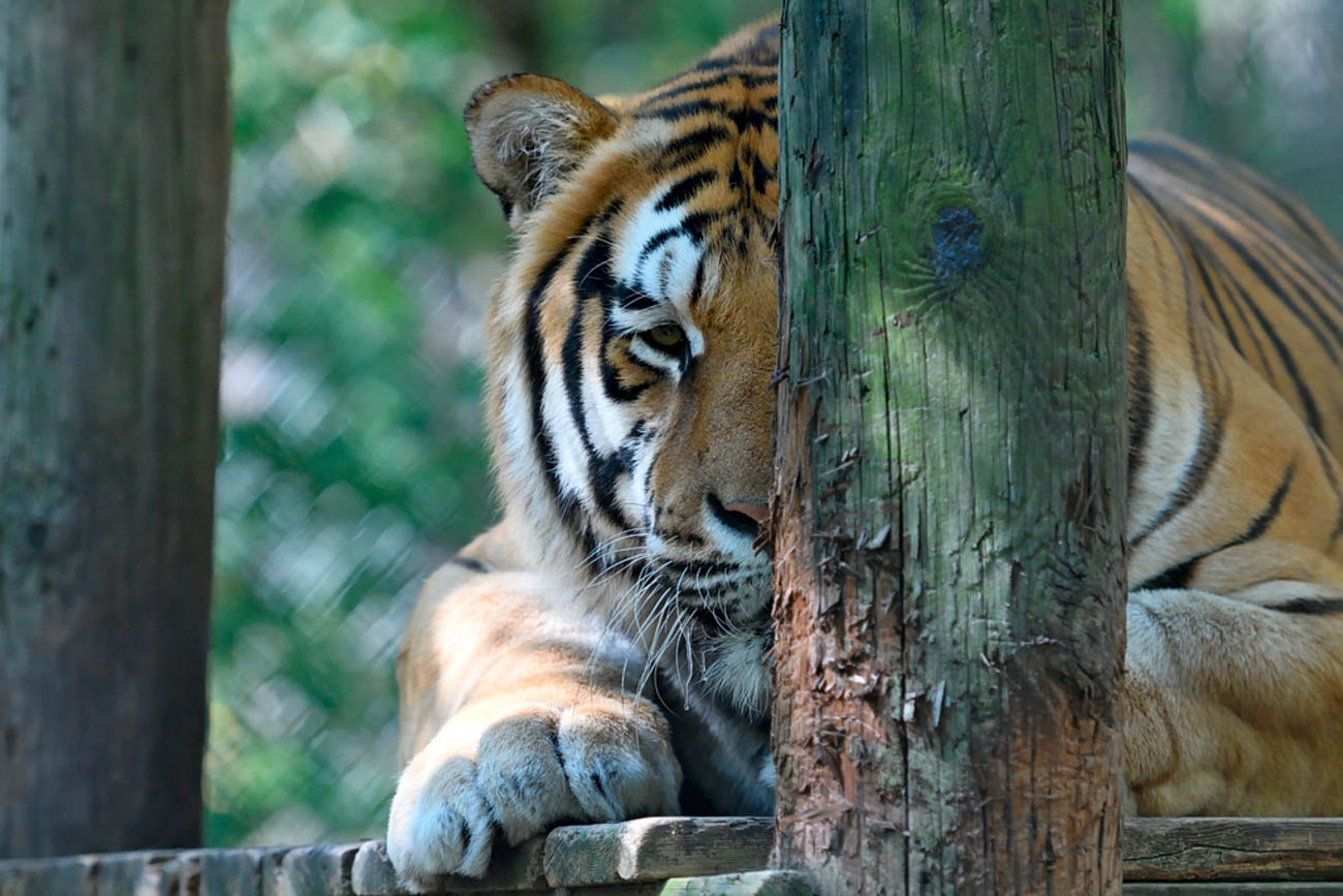 Max is a tiger that was rescued from Flat Rock, Indiana when his owner was unable to care for him anymore. / Image: Stephen D. McCloud, via the Exotic Feline Rescue Center // Published: 12.5.18