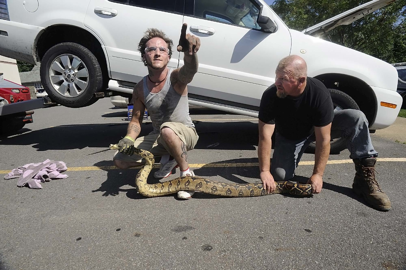 Herpatologist Cameron English, left, and passerby Nathan Fortson hold a large boa constrictor after rescuing the reptile from underneath a vehicle at a medical clinic in Kingston, Pa., Thursday July 14, 2016. (Mark Moran/The Citizens' Voice via AP)