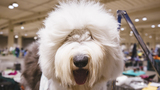 112 photos of dogs living their best lives at the Seattle Kennel Club Dog Show