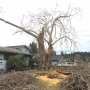 Significant sycamore doomed by storm damage
