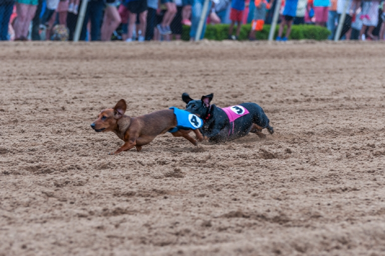 Belterra Park Gaming (near Coney Island) held its Dog Days of Spring event on Sunday, April 30. The event featured wiener dog races as well as two special races for other breeds of dogs. / Image: Mike Menke // Published: 5.1.17