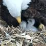 Second Decorah eaglet is born