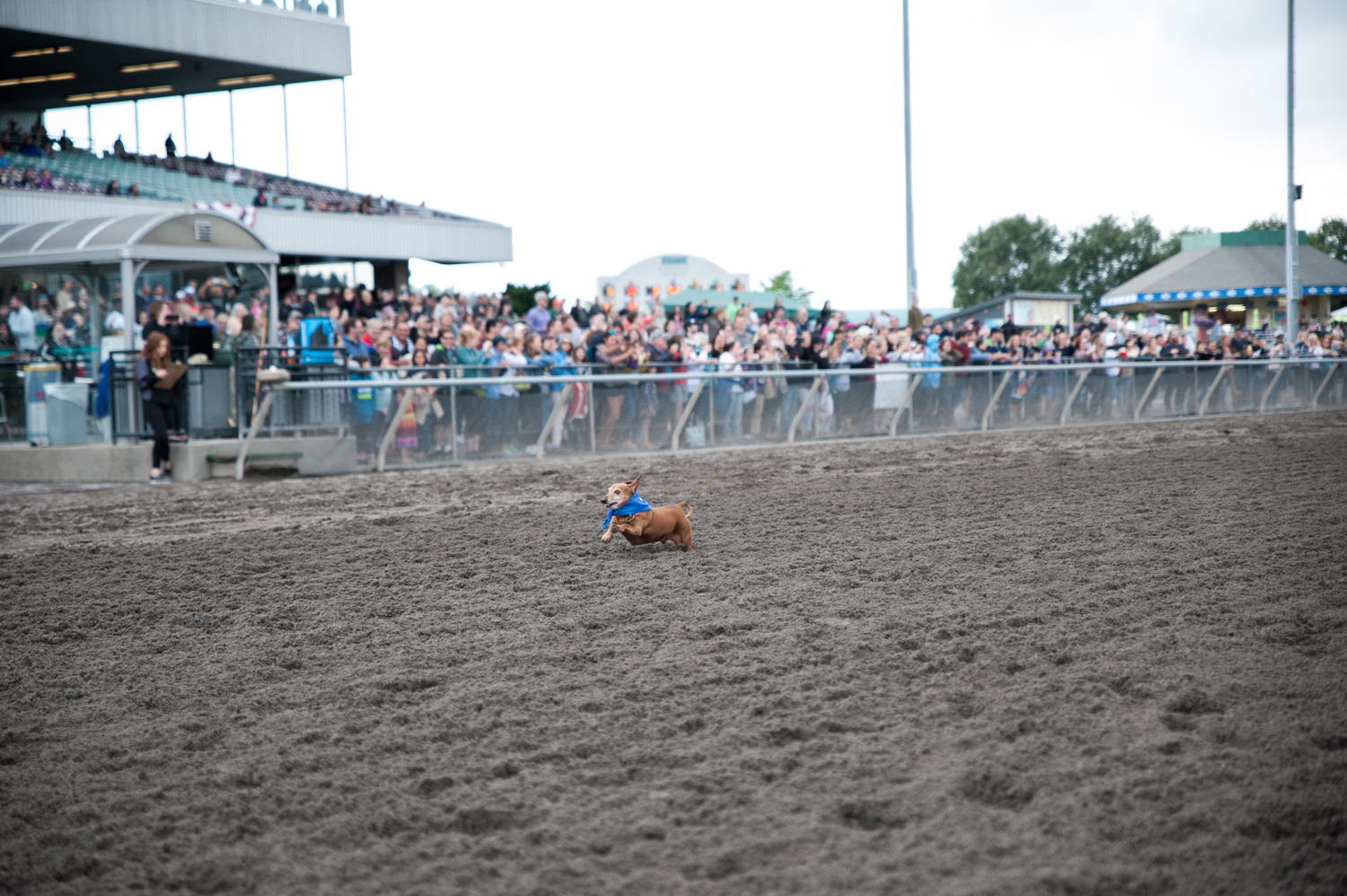 Wiener dogs (and wannabes!) took the track at Emerald Downs for the annual Wiener Dog Races! In front of hundreds of people, wiener dogs and other dogs under 20 pounds sprinted out of the gate and towards their owners at the finish line. The smallest, but mightiest race we've seen at the track in a while! July 7 2019. (Elizabeth Crook / Seattle Refined)
