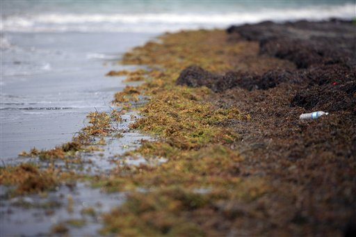 Large quantities of seaweed blanket the beach in the east coast town of Humacao, Puerto Rico.