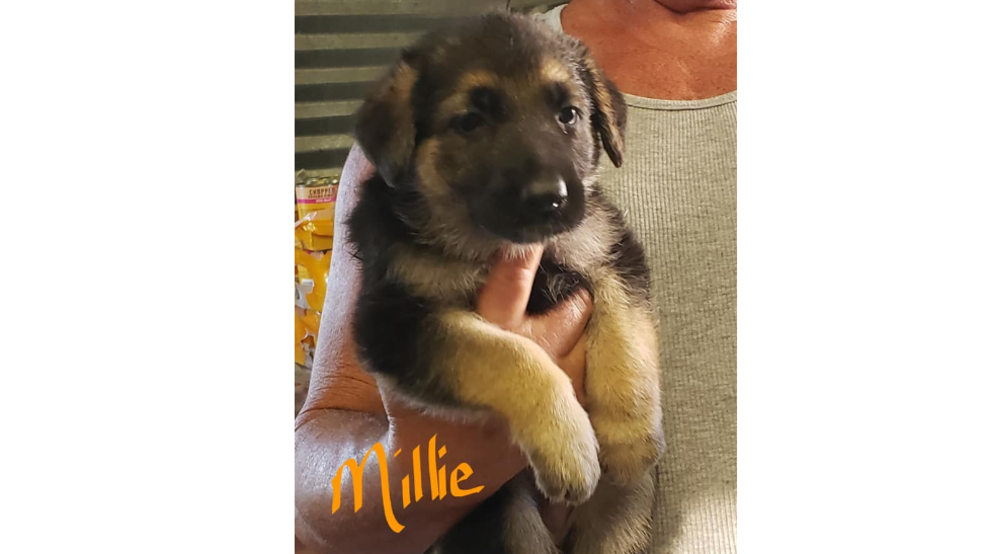 4 puppies stolen from breeder in Adair County; 1 set to go to girl with Leukemia