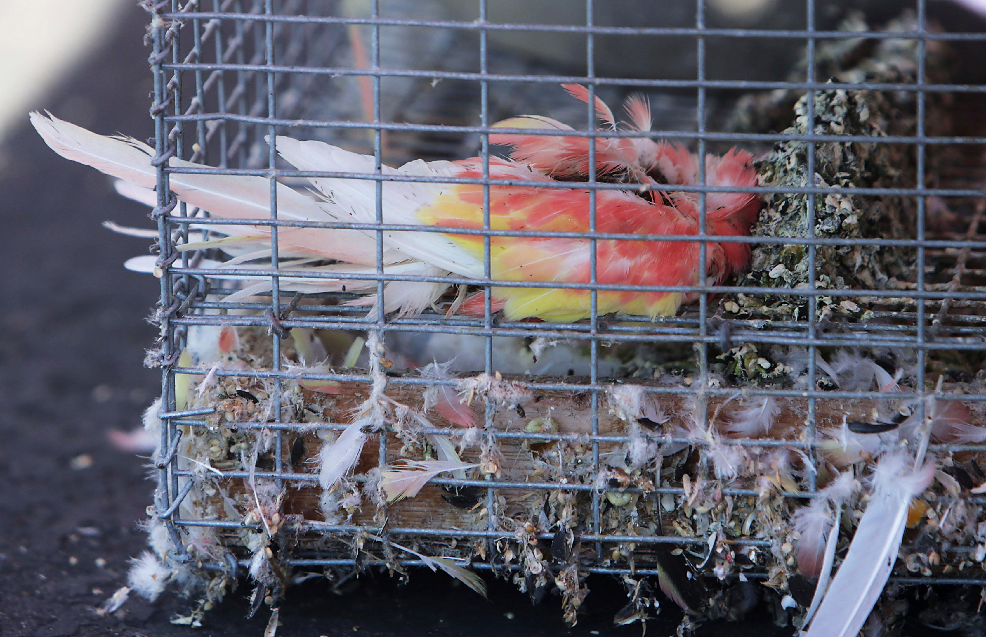 This photo shows one of the dead birds still in a cage as the Inland Valley Humane Society removes animals some alive and dead, from a warehouse Friday, Aug. 4, 2017 in Montclair, Calif. Montclair police stumbled across a trash-strewn industrial building crammed with more than 1,000 snakes, parrots, chickens and other exotic animals when they arrived to serve an arrest warrant on a man there.  (Terry Pierson/Los Angeles Daily News via AP)