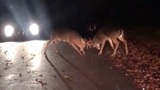 Caught on Camera: Two big deer bucks square off in middle of Warwick street