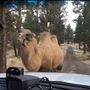 Deputies help corral escaped camel in Central Oregon
