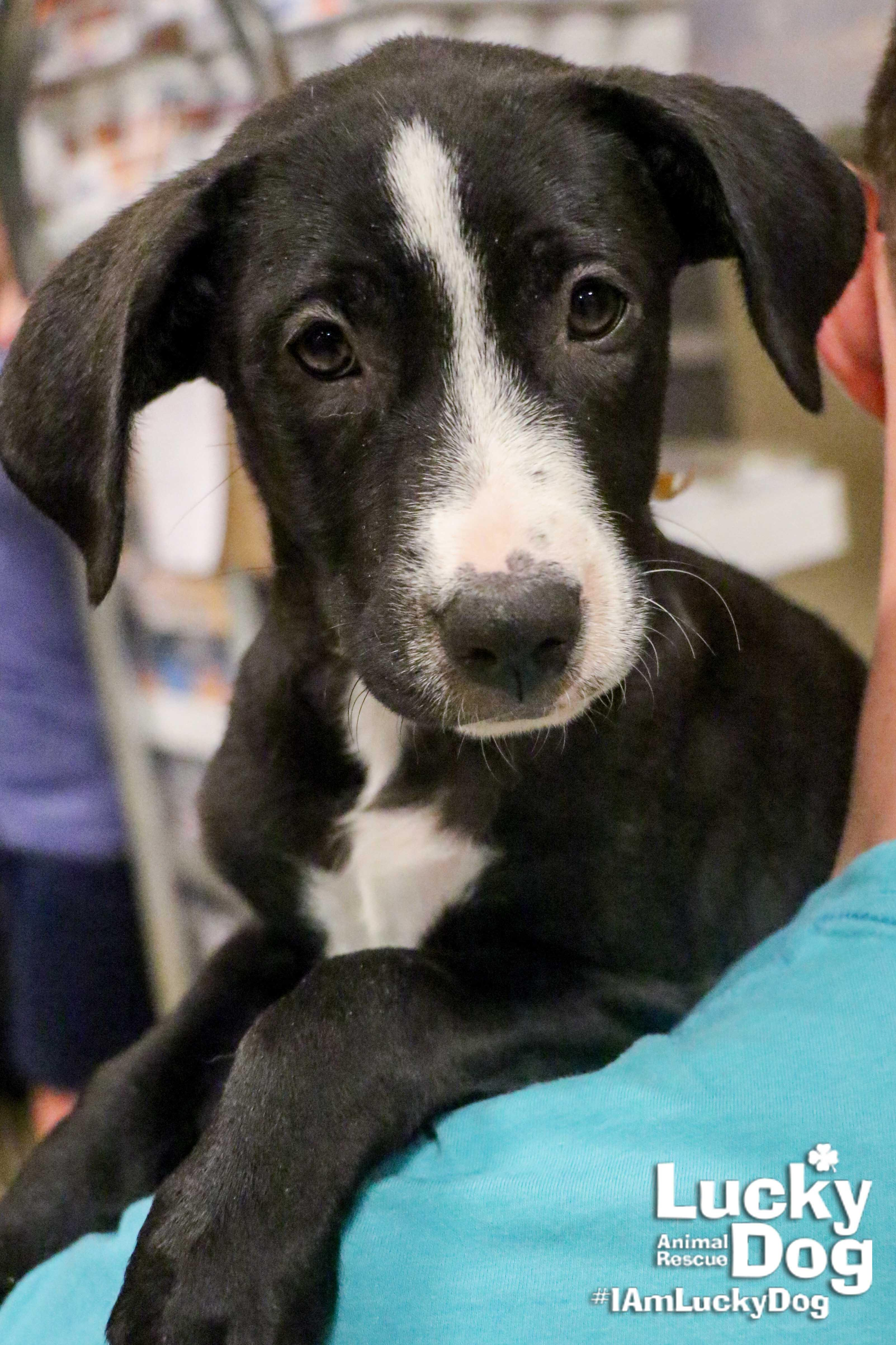 "DC Refined is currently seeking our 2018 class of ""Most Eligible Bachelors"" who will pose with adoptable dogs from our partner organization Lucky Dog Animal Rescue.  Our chosen gentlemen will get a mini photoshoot with one of Lucky Dog's adoptable puppers, such as 8-week-old Clara pictured here. If you're interested in participating in our eligible bachelors and adoptable dogs photoshoot, find out how you can participate here: https://bit.ly/2uDnjVQ"
