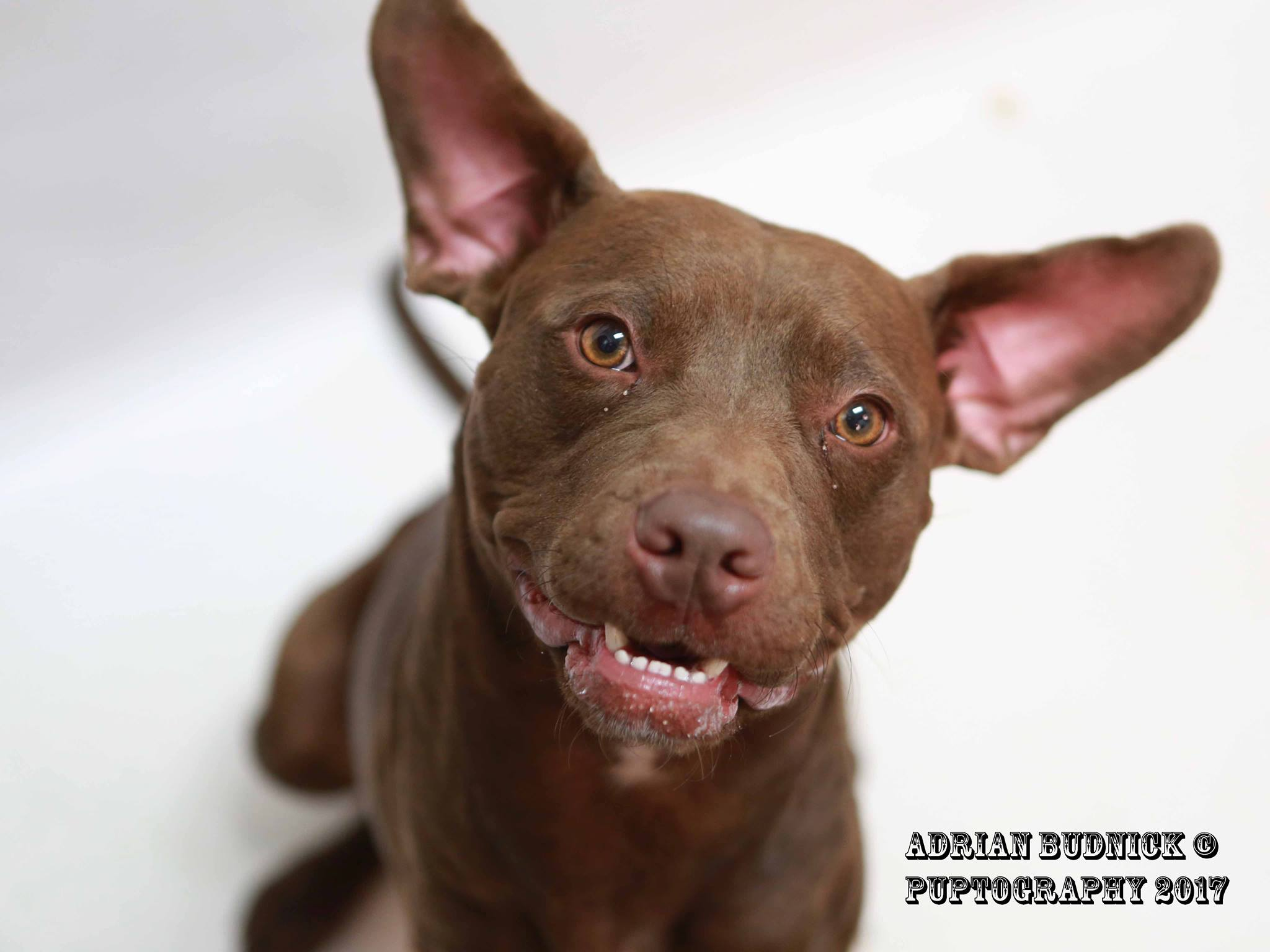 Chocolate A155956 is 11 month old pit bull. She is available at Metro Nashville Animal Care and Control is located at 5125 Harding Place Nashville