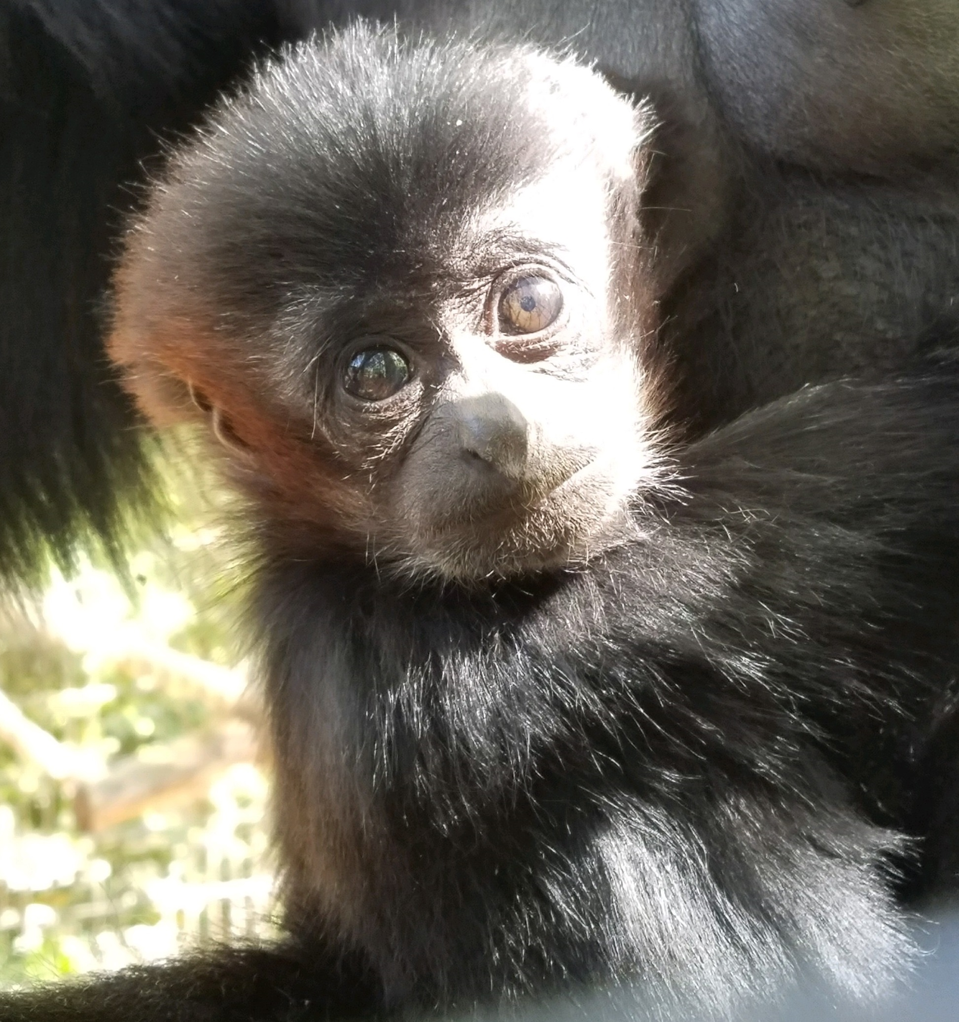 Arthur Jr. (AJ), a siamang, was born Jan. 6. (Photo credit: City of Greenville)