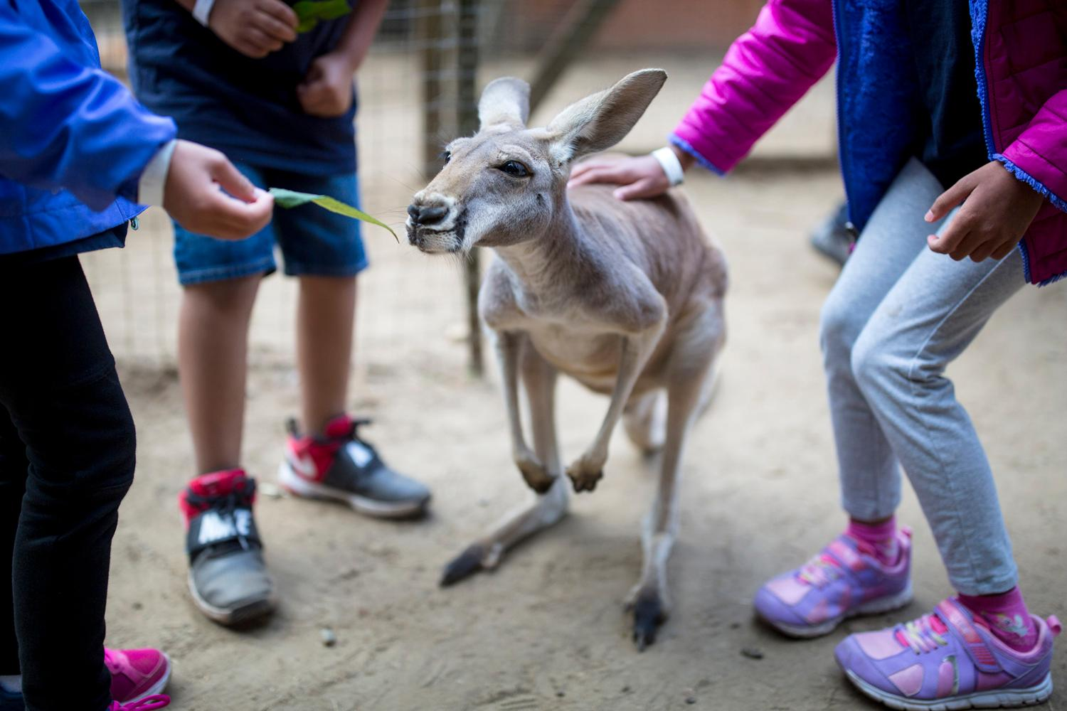 Outback Kangaroo in Arlington provides kangaroo and exotic animal tours that allows guest to interact with all the different animals. In addition to kangaroos, the farm houses everything from alpacas and flying squirrels to peacocks and wallaroos. (Sy Bean / Seattle Refined)