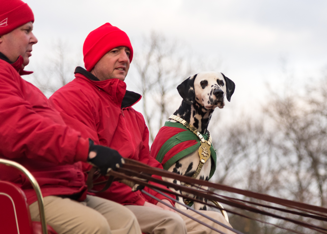 <p>A Dalmatian accompanied the Budweiser Clydesdales, who made a rare stop in Bellevue at the Party Source on November 28. / Image: Phil Armstrong, Cincinnati Refined // Published: 11.30.18</p>