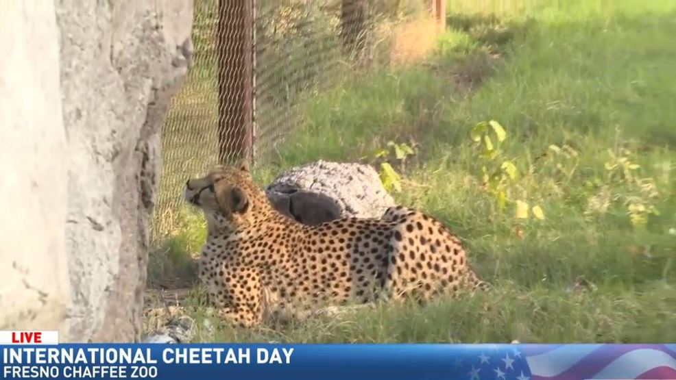 Jim visits the Fresno Chaffee Zoo on International Cheetah Day KMPH