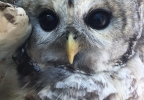 owl rescue whately police 6.jpg