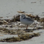 Piping plovers making a comeback in Maine