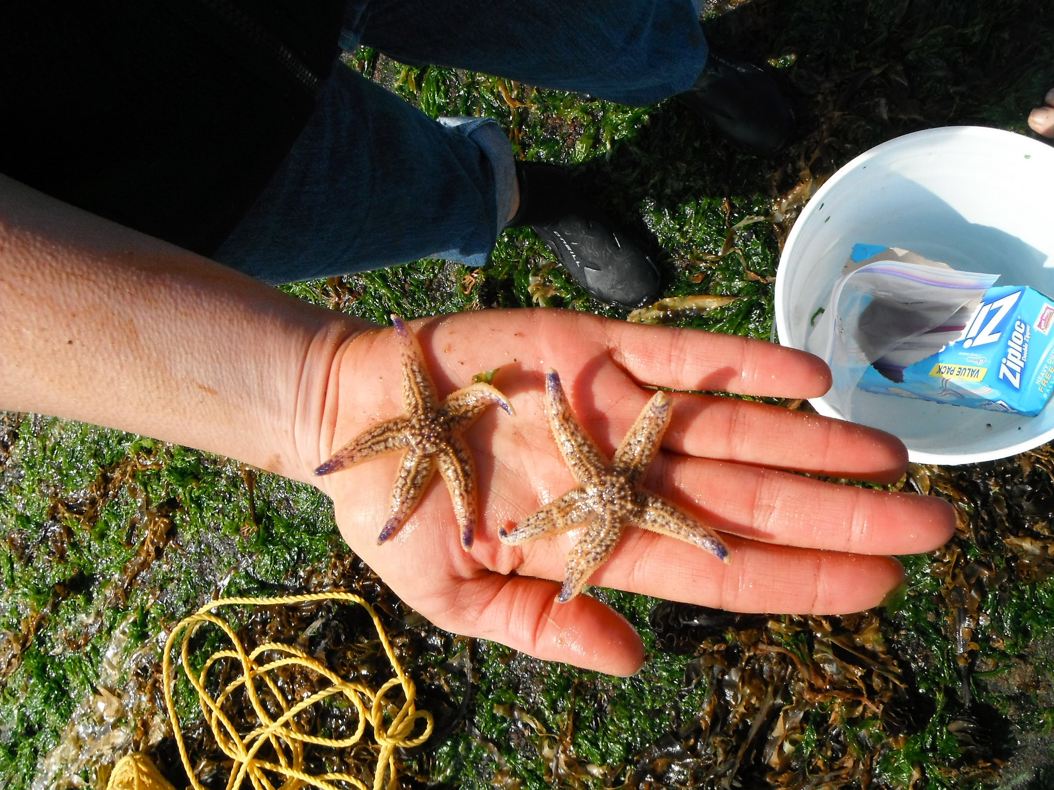 Asian amur sea star (Asterias amurensis) found on the Oregon Coast by Oregon State University scientists following the 2011 Japanese earthquake and tsunami. (OSU)