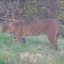 Smithfield police warn residents of bobcats