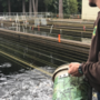 One million salmon moved to Leaburg Hatchery