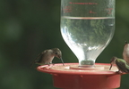 HUMMINGBIRDS IN JAC. CO.transfer_frame_1566.jpg
