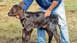 Calf born at North Dakota ranch has 2 extra limbs