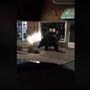 Police video shows large bear peering into shop windows