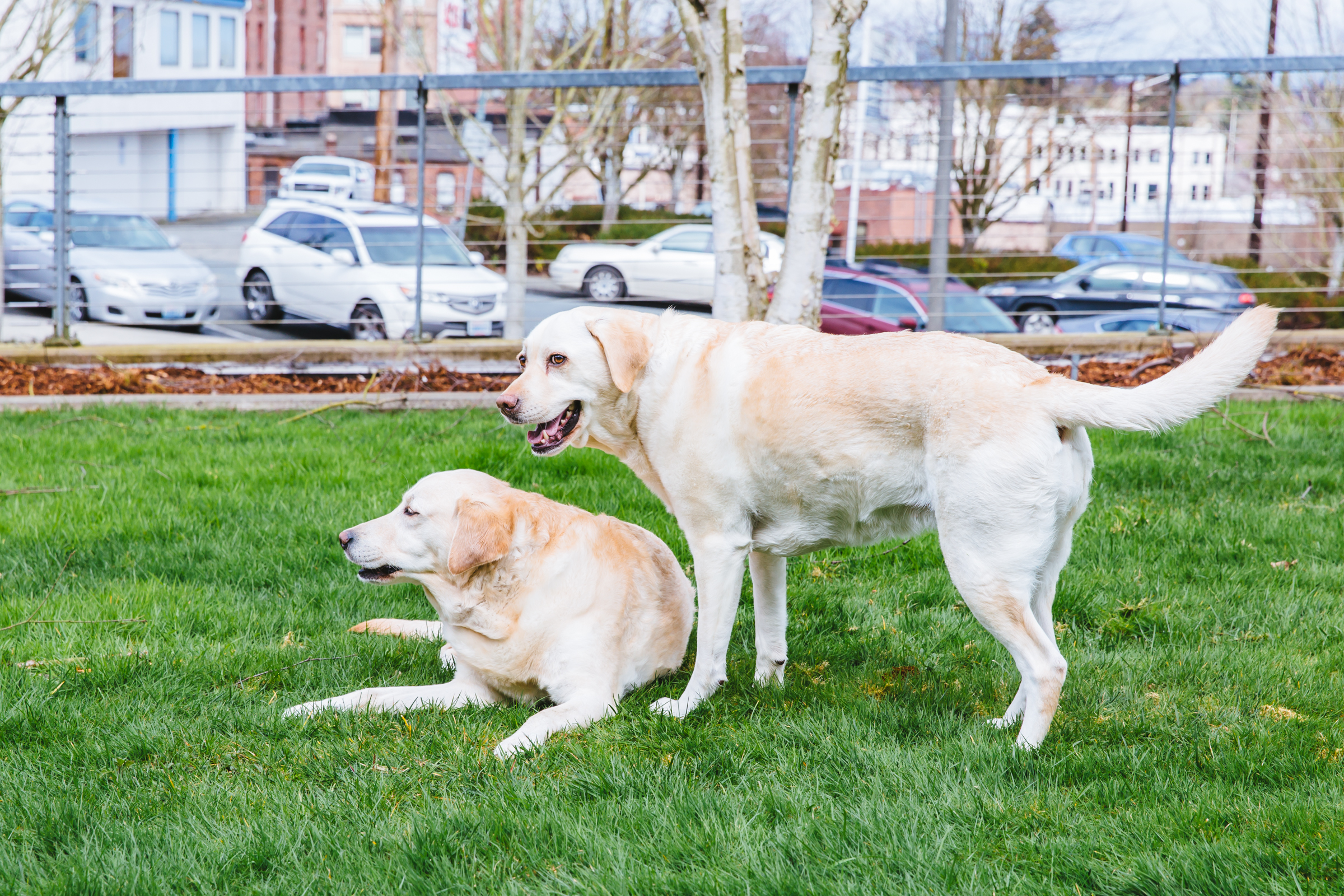 This week, RUFFined is spotlighting two service dogs, Harper Lea & Lucy Lu who serve at the Everett Courthouse, and were trained with Canine Companionship for Independence. Harper Lea is a 6 year old Lab who sits with children who were involved in stressful situations at the courthouse. Harper Lea loves to play with other dogs and children, cuddling, coming to work, apples, and carrots. Although she likes walking, Harper dislikes running, having her nails done and baths. Harper's pal, Lucy Lu is a 5 year old retriever-lab mix. Lucy loves bacon, laying in the sun, long baths, and hide and seek. Lucy also dislikes having her nails done. Lucy provides companionship and comfort to victims and witnesses through their entire judicial journey! The Seattle RUFFined Spotlight is a weekly profile of local pets living and loving life in the PNW. If you or someone you know has a pet you'd like featured, email us at hello@seattlerefined.com or tag #SeattleRUFFined and your furbaby could be the next spotlighted! (Image: Sunita Martini / Seattle Refined).