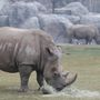 Fresno Chaffee Zoo's rhinos expecting first calf