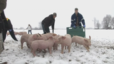 Watch: Tractor trailer full of feeder pigs overturns due to ice