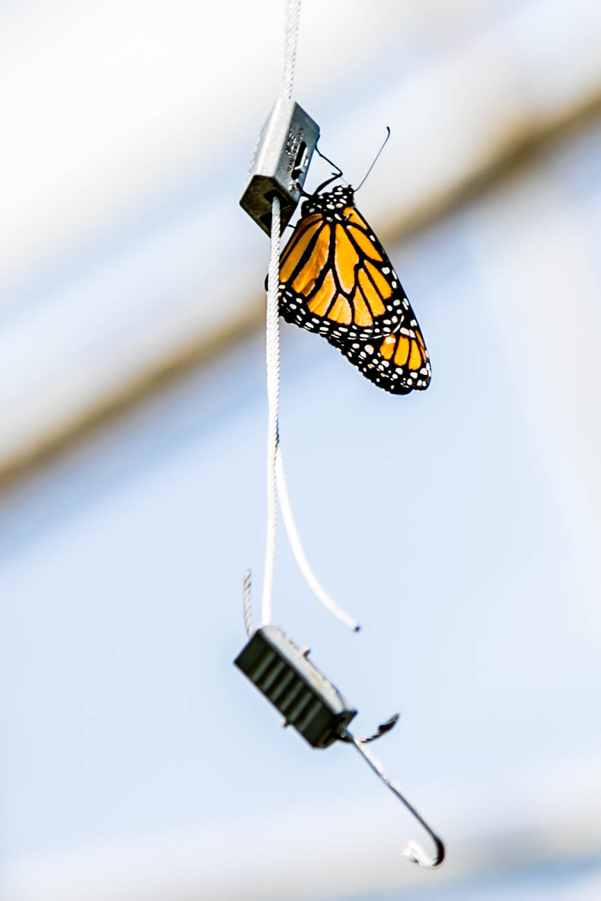 A monarch butterfly / Image: Amy Elisabeth Spasoff // Published: 4.22.18