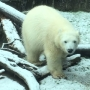 Nora the polar bear cub enjoys her first snow at Oregon Zoo