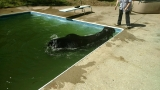 Bull goes swimming in backyard pool in Tennessee